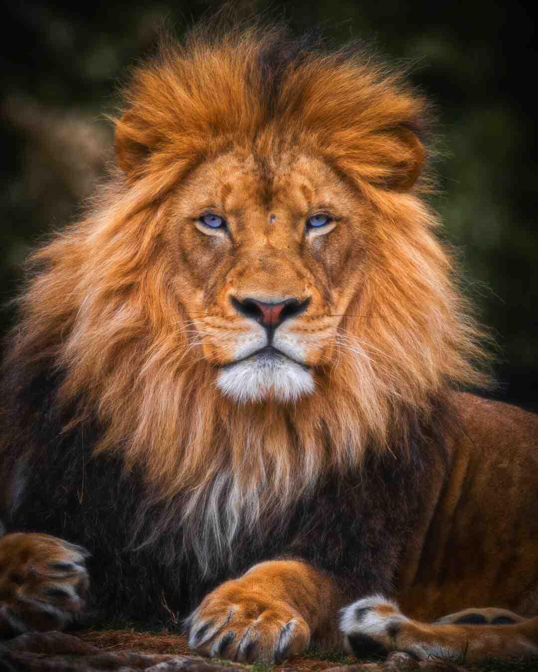 Comment dessiner un lion